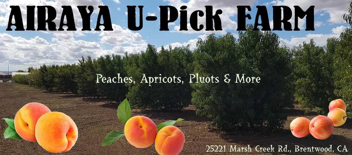 AIRAYA U-Pick Farm - White Peaches, Yellow Peaches, Apricots, Pluots and More in Brentwood, CA